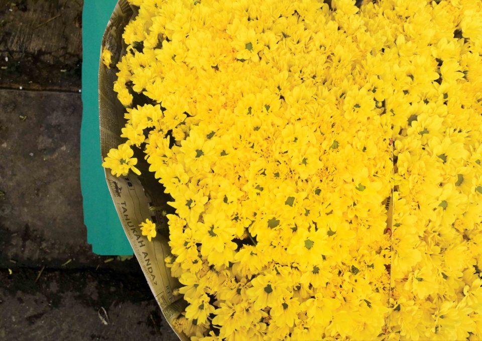 Aster (Asteraceae) - Vivi Rans