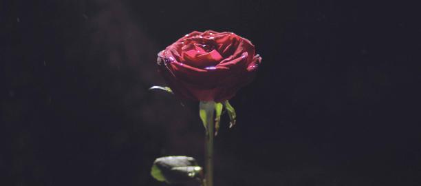 Rose (Rosa) – I kadek Cendana Asvatham