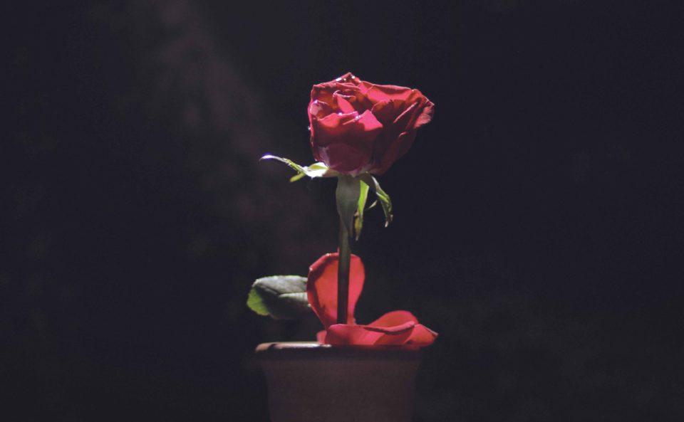 Rose (Rosa) - I kadek Cendana Asvatham